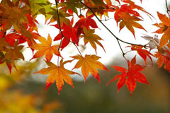fall-leaves-tree-240