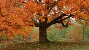 ca. 1980s-1990s, Weston, Vermont, USA --- Detail of Tree With Fall Foliage and Swing --- Image by © Peter Finger/CORBIS